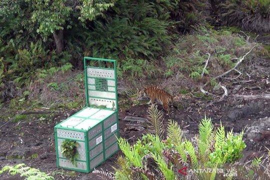 KLHK lepasliarkan harimau Sumatera di Gunung Leuser
