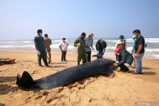 Paus terdampar di Sri Lanka