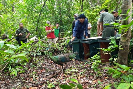 Tiga ekor burung merak hijau dilepasliarkan di TNUK