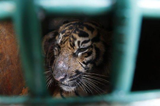 BKSDA Aceh lepas liarkan harimau sumatera ke hutan Gayo Lues