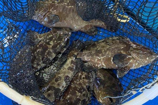 Ada 30 ton ikan kerapu cantang siap jual di Kepulauan Seribu