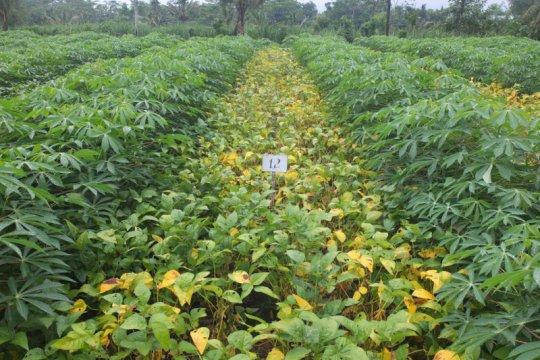 Balitbangtan lepas benih kedelai berbiji besar dan produksi tinggi
