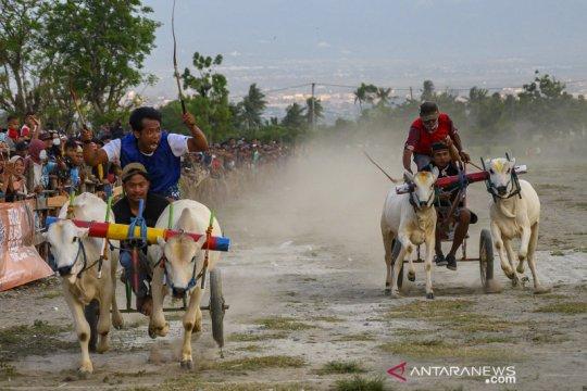 Karapan sapi usai panen raya di Sigi