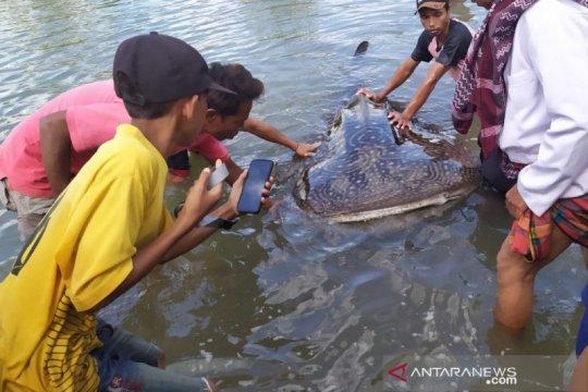 Hiu paus yang terdampar di kawasan mangrove diselamatkan