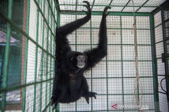 BKSDA Sumsel akan lepas liarkan enam ekor Siamang Sumatera
