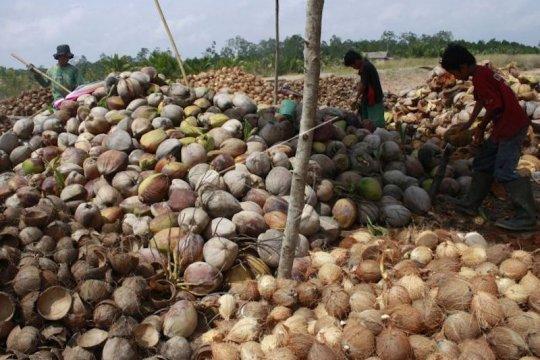 Perpekindo tolak rencana pelarangan ekspor kelapa bulat