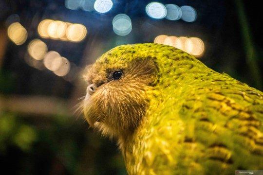 Kakapo, Burung Selandia Baru Terbaik Tahun InI