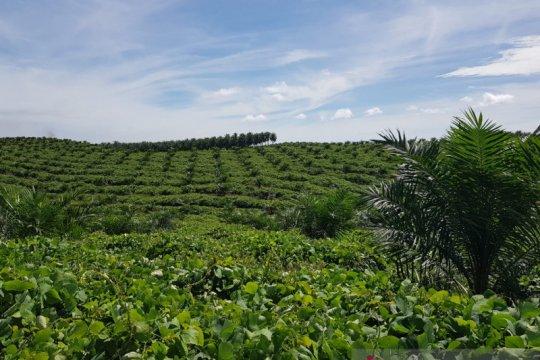 Ekspor kelapa sawit 2020 diperkirakan tak terpengaruh COVID-19