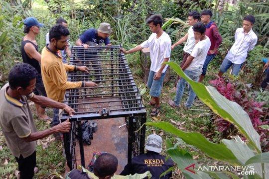 BKSDA Agam pasang perangkap di lokasi kambing dimangsa macan