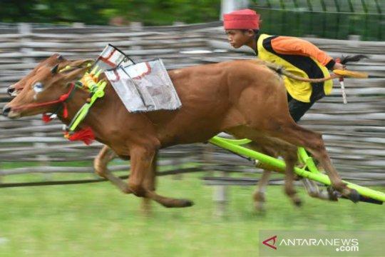 Bakorwil Pamekasan tunda karapan sapi Piala Presiden