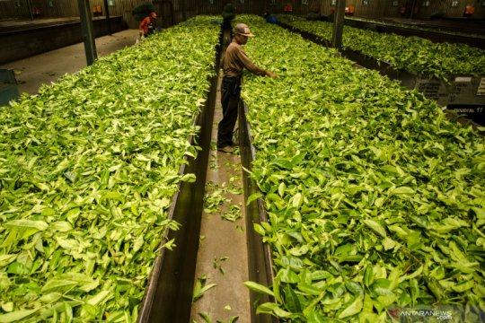 Pabrik penghasil teh hitam terbaik di Indonesia