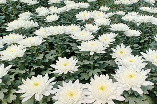 Sumut mulai ekspor bunga krisan ke Jepang