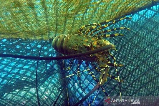 Benih lobster harus diberdayakan untuk domestik bukan untuk ekspor