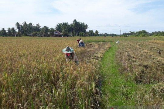 75,25 hektare sawah di Pariaman diserang hama wereng
