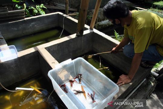 Regulasi lobster dinilai beri kepastian hukum bagi pembudidaya