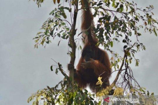 Hulu Sungai Utara pertahankan keberadaan orangutan