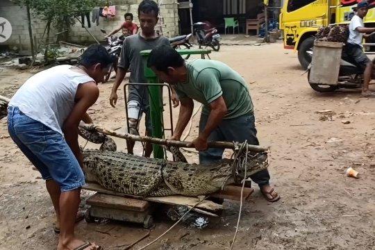 BKSDA Bangka evakuasi buaya pemangsa ternak milik warga