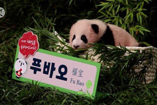 Merayakan kelahiran Fu Bao di kebun binatang Korea Selatan