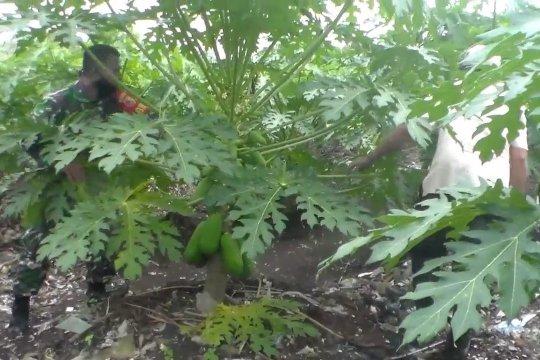 TNI dan warga manfaatkan lahan kosong dengan tanaman pepaya California