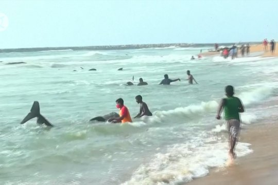 Warga Sri Lanka abaikan jam malam demi selamatkan paus terdampar