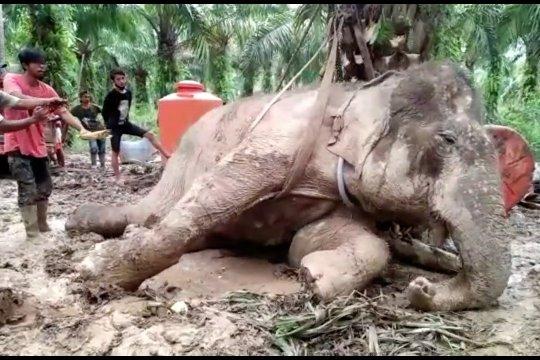 Gajah Sumatera berusia 50 tahun mati di PLG Sebanga