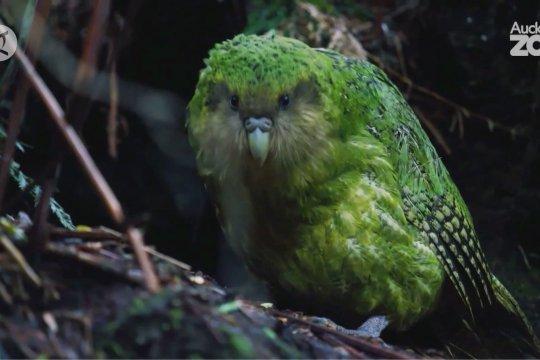 Kakapo sabet gelar Bird of the Year Selandia Baru untuk kali kedua