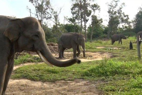 Menjaga populasi gajah sumatera di Riau dari ancaman konflik