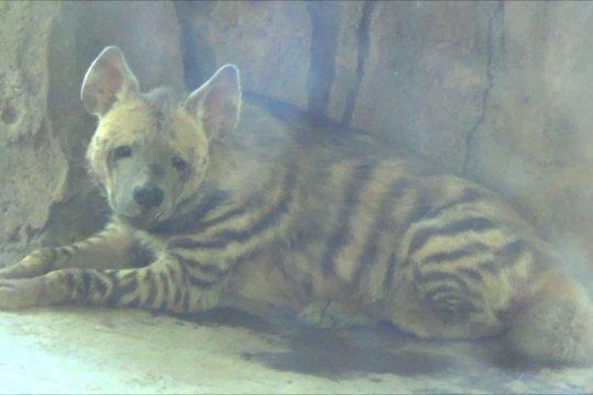 Pertama di Indonesia, Bali Safari sambut kelahiran bayi Hyena