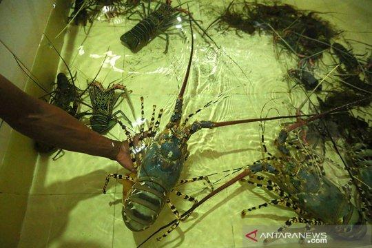 KPPU sebut sanksi eksportir benih lobster didenda minimal Rp1 miliar