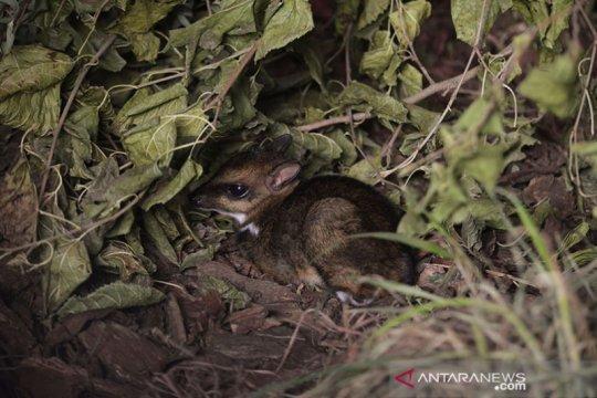 Seukuran kotak korek api, rusa tikus langka lahir di Polandia