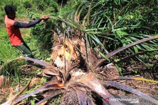 BKSDA Aceh tempatkan tujuh unit konservasi atasi gangguan gajah liar