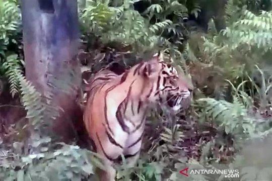Seekor harimau masuk permukiman warga Kecamatan Danau Kembar