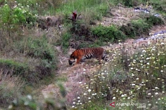 Harimau sumatera masuk ke ladang warga di Solok
