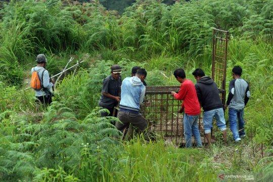 Sepekan, lepas liar harimau sumatera hingga kebun urban organik