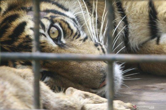 Harimau kembali masuk ladang warga Mukomuko