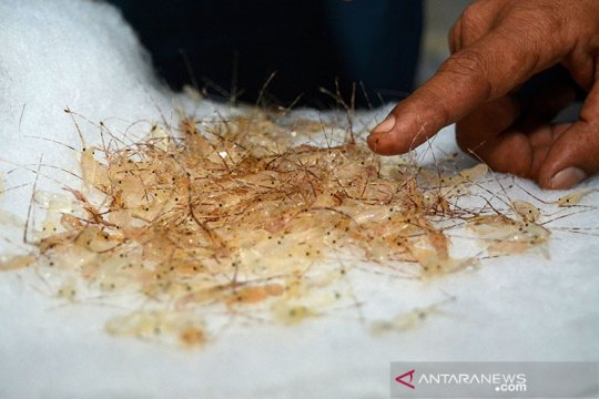 DPR: KKP harus patuhi kesepakatan terkait ekspor benih benih lobster