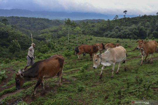 Sapi Pasundan dan impian swasembada daging sapi