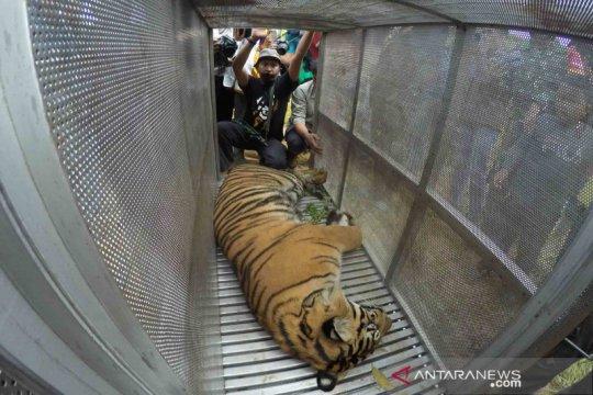 Harimau Sumatra masuk perangkap