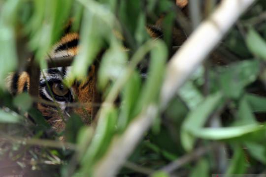 Masyarakat Solok Selatan resah dengan kehadiran tiga ekor harimau