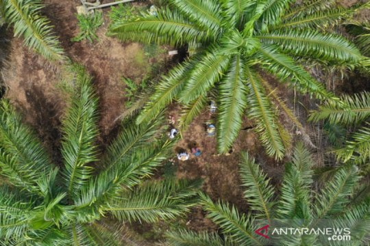Disbun Kalbar: Pekerja perempuan juga berperan di perkebunan sawit