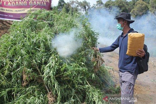 Bareskrim musnahkan lima hektare ladang ganja di Sumut
