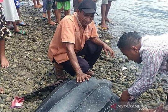 Nelayan Alor selamatkan penyu langka terdampar di pantai