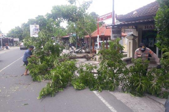 Angin kencang menumbangkan pepohonan di Mataram