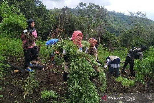 BNN Aceh musnahkan empat hektare ladang ganja di Aceh Besar