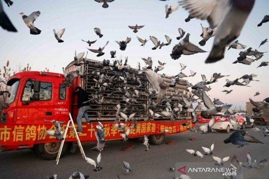 Menilik tradisi balapan burung merpati di China