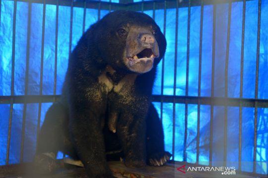 Penyelamatan beruang madu yang terkena jerat di Aceh