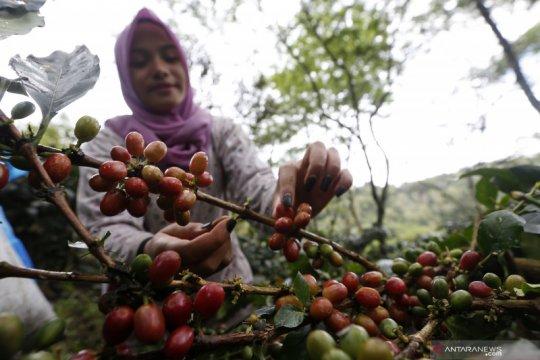 Ketika harga kopi Gayo tidak sesedap seruput para penikmatnya