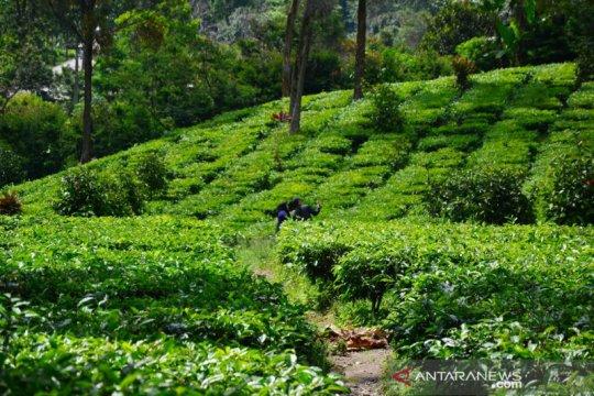 Wisata aman saat pandemi COVID-19 di perkebunan teh Gunung Mas Bogor