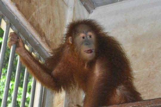 Karantina Pertanian Medan kawal ketat sembilan orangutan dari Malaysia