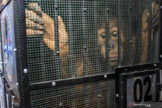 Repatriasi Orangutan dari Thailand ke Indonesia